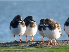 Turnstones (Arenaria interpres) in their winter plumage, Loughshinny Harbour, Co. Dublin