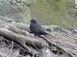 A Blackbird foraging among the trees in the friary garden, Killarney, Co. Kerry