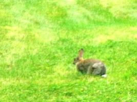 A rabbit in grass in killarney, Co. Kerry