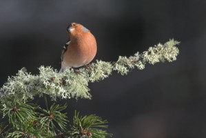 Chaffinch on a branch covered in lichen, Newry, Co. Down - Photo by Adrian McGrath