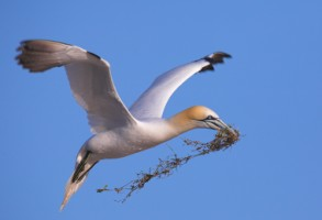 Gannet gathering building material for nesting on Saltee, Co. Wexford - Photo by Adrian McGrath