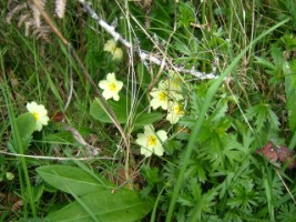 Primrose, a common flower growing in hedges