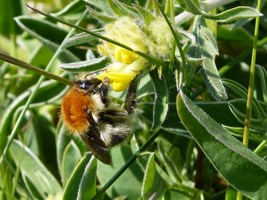 Large Carder Bee (Bombus muscorum), Bull Island, Co. Dublin