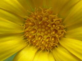 Calendula Marigold - closer still!