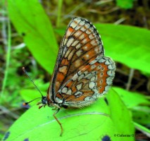 Bogs are one of the habitats of the beautiful Marsh Fritillary butterfly