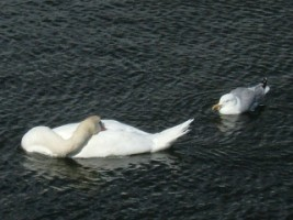 Mute swan relaxing with onlooking gull, Galway pier, Galway city