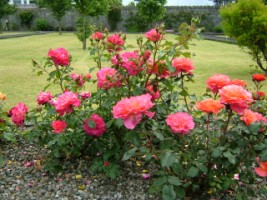 Red Roses, Friary garden, Ennis, Co. Clare