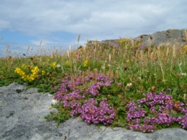Burren bees feed on a rich flora to produce a rich tasting honey