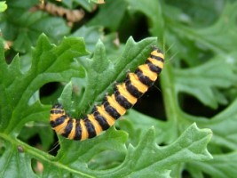Orange & black striped larva of the Cinnabar Moth feeding on Ragwort, Doolin, Co. Clare