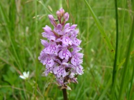 Orchid, Holy Island, Lough Derg, Co. Clare
