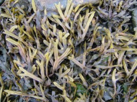 Horned Wrack (Fucus ceranoides) on the shore next to Donegal Friary, Co. Donegal