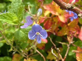 A speedwell growing amongst the ruins of Kilnalahin Abbey