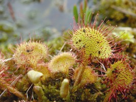 Round-leaved Sundew growing in a bog, photograph by IPCC