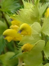 A close up of Yellow Rattle, Stoutenburg, Netherlands
