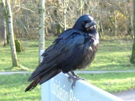 A young rook at Killarney National Park, Co. Kerry